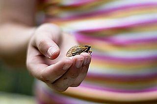 Cicada-27