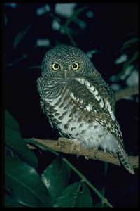 Northern_pygmy_owl_268051